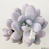 후레뉴43|Pachyphtum cv Frevel