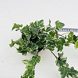 롱롱 긴 무늬아이비 아이비 실내식물 음직식물 수경재배|Heder helix
