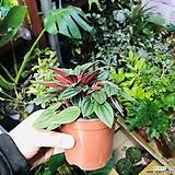 에덴로소(공기정화식물)특이식물 