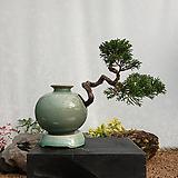향나무 주입청자항아리(소품) 분재 향나무분재 진백분재 나무분재 ST-111|
