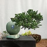 눈향 주입청자항아리(소) 향나무분재 분재 분제 미니소나무 미니분재ST-105|