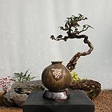 가마귀밥여름나무 분청항아리(소품) 분재 까마귀밥여름나무 도자기분재 미니분재 분제 승진축하화분 나무분재 ST-113|