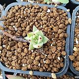 도감마리아클레오 잎꼬지|Echeveria agavoides Maria
