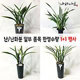 [고객감사행사]한정수량 동양란 1+1/난/동양란/식물/공기정화식물/나라아트|