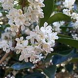 향기은목서 (대품) 꽃향기가 근사한 나무입니다|