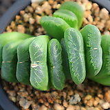 그린옥선196|Haworthia truncata