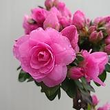 립불철쭉 특대품/꽃몽우리가득해요|