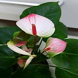 [진아플라워] 천상의 투톤 안시리움|Anthurium andraeaeanum