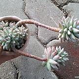 묵은수형수빙(자연한뿌리)|Sedeveria cv. Supar brow