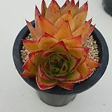 오렌지에보니 2두 봄에 색감 정말 이뻐요|Echeveria Agavoides Ebony
