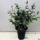 함소화나무(꽃도 예쁘고 바닐라 향기가 납니다)|Sedeveria Pudgy