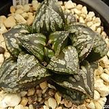 자금성(紫金城) 자구 중묘(Haworthia Shikinzoh, offset) 