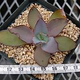루브로마지나타 소형종 (Echeveria rubromarginata, miniature form) Echeveria rubromarginata