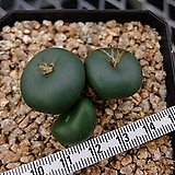 Rugosa (Conophytum Rugosa, 3H) 