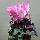 시클라멘  핑크