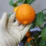 레몬나무  특대  키  100  ~130cm|
