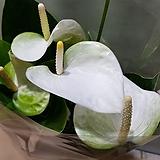 안시리움  흰색|Anthurium andraeaeanum