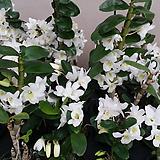 덴드로비움(포켓러브).석곡.다시입고.아주좋은향(꽃이깨끗한 흰색).꽃대있습니다.인기상품.|