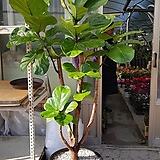떡갈고무나무  고급완성분  키  160~170cm서울경기인천  직배상품|Ficus elastica