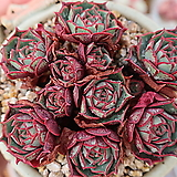 환엽롱기시마군생한몸 Echeveria longissima