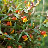 메디오칼카(해피필드).황색꽃.잎,꽃앙징맞고 예쁩니다.상태굿.건강함.꽃대있어요.|