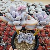 홍미인 4두목대 군생 1578|Pachyphytum ovefeum cv. momobijin