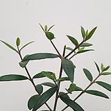올리브나무(소품)-외목대|