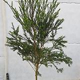 [대품]티트리나무|