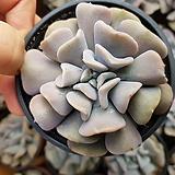 큐빅프로스티(중)|Echeveria pulvinata Frosty