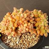 천대전송철화 묵은둥이|Pachyphytum compactum