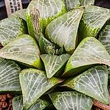 銀雪花(은설화)-11-30-No.4680|Sedum spathulifolium