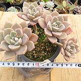 오래묵은 핑크프리티(군생목대)-474|Echeveria Pretty in  Pink