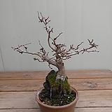 (특가)소사나무 제주석부작|