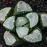 거대 만상 실생(巨大 万象 實生)--11-30-No.4028|Haworthia maughanii