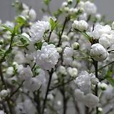 옥매 특대품/꽃눈이가득해요|