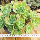 묵은 레몬로즈(대품군생/붉게물듬)-28|Echeveria Lemon Rose