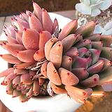 오래묵은 왁스(목대굵어요)|Echeveria agavoides Wax