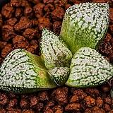 특백 픽타 실생(特白picta seeding)-11-30-No.1304|Haworthia picta