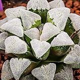 특백환 피그(特白丸 pygmaea)-11-30-No.2102|