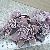 로즈퀸1|Graptoveria Rose Queen
