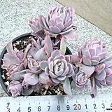 로즈퀸2|Graptoveria Rose Queen
