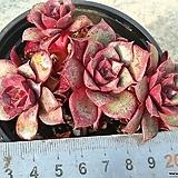 롱기시마4|Echeveria longissima