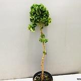 본트로사이제라늄(모두 외목수형으로 향기가 좋습니다)|Geranium/Pelargonium