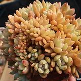 오렌지먼로철화 Echeveria Monroe(Orange)