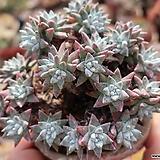 화이트그리니자연목대군생한몸(26두) Dudleya White gnoma(White greenii / White sprite)