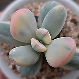 방울복랑금대형종(수박금뿌리무) Cotyledon orbiculata cv variegated