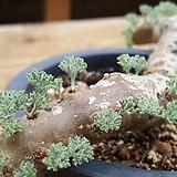 멀티피듐 아프리카식물 (멀티피덤)|Echeveria Tippy