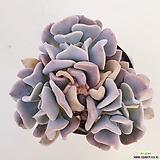 큐빅프로스티16|Echeveria pulvinata Frosty