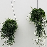 립살리스 립살리스폭스테일 행잉식물 행잉플랜트 공중식물 틸란 틸란드시아|Tillandsia