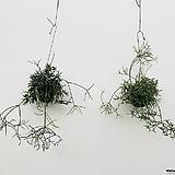 립살리스 립살리스테리스 행잉식물 행잉플랜트 공중식물 틸란 틸란드시아|Tillandsia